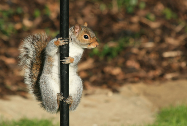 Squirrel on feeder pole