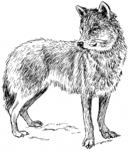 Wolf_3_(PSF)