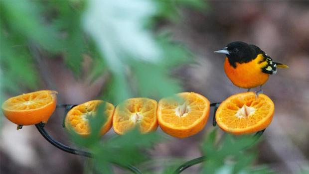 Oriole feeding on oranges