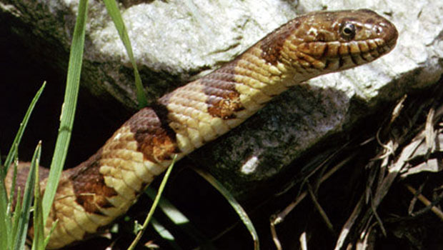 Common-Water-Snake