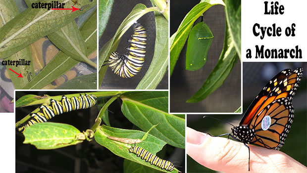 Where Have All Monarchs Gone >> Where Have All The Monarch Butterflies Gone Portage News