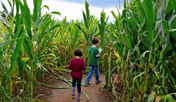 corn maze with kids FB