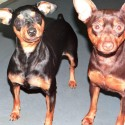 LOST FEMALE MINIATURE PINSCHER