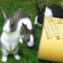 Dutch Rabbits
